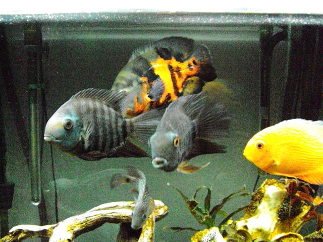 The Large Cichlids