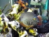 Large Green Severum